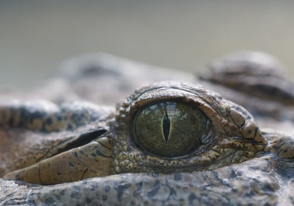 crocodile-941725_1280