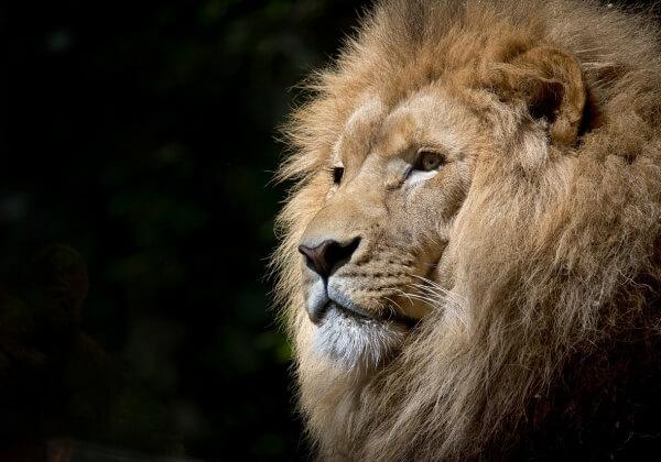 lion-1118467_1280