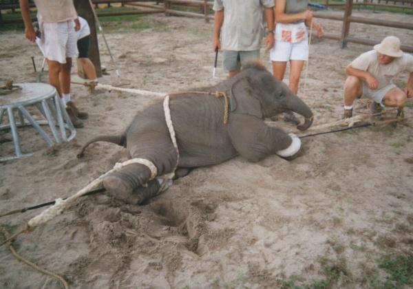 Nieuwe foto's tonen aan hoe olifanten worden mishandeld in Ringling circus