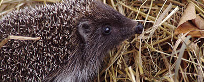 400-hedgehog