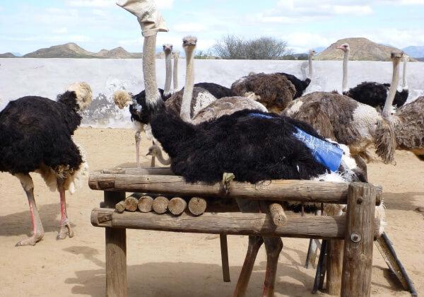 Onthuld: Struisvogeljongen afgeslacht voor 'luxueuze' tassen