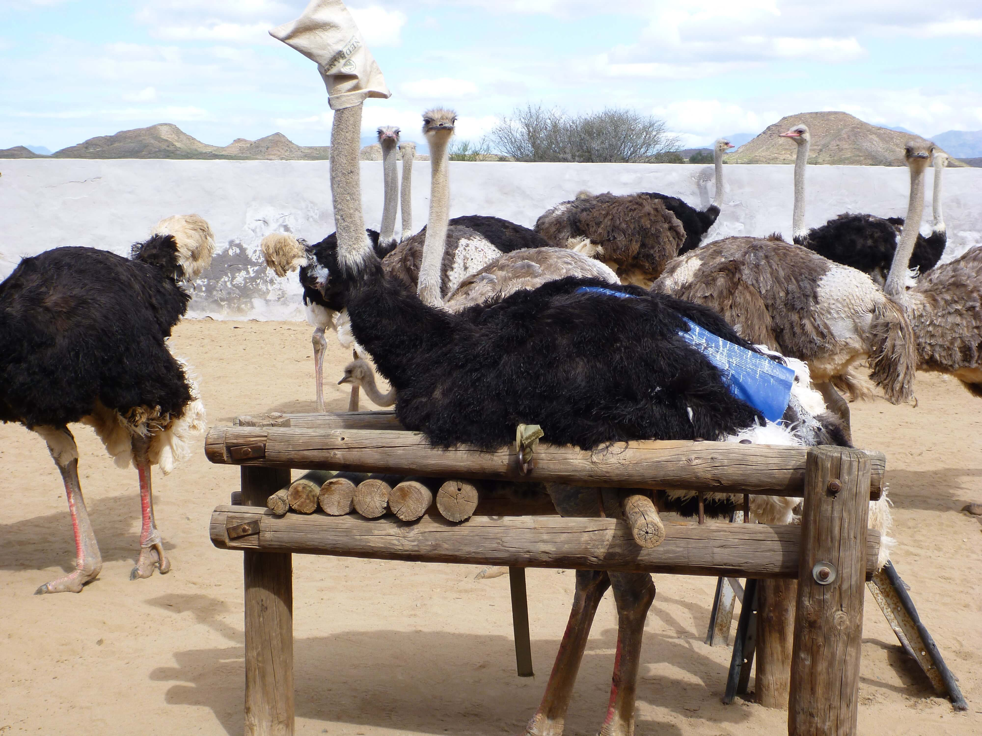 Ostrich-in-Restraint-Device-for-Plucking-