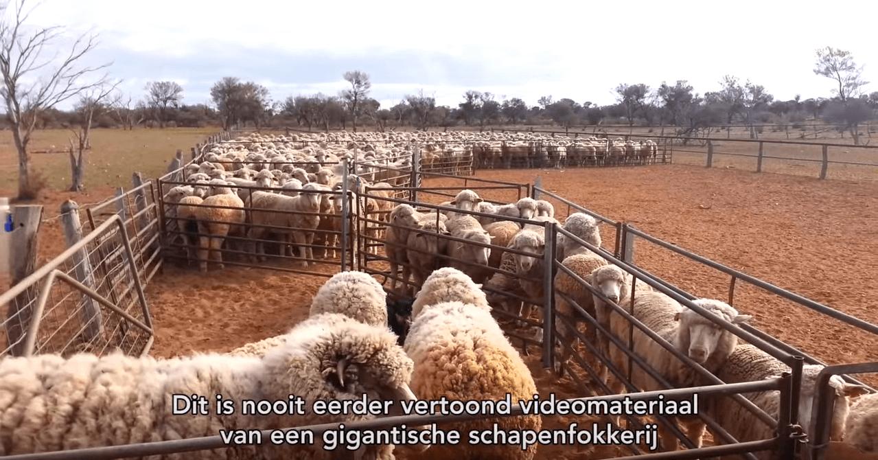Schapen geschopt, gestompt en verminkt voor wol