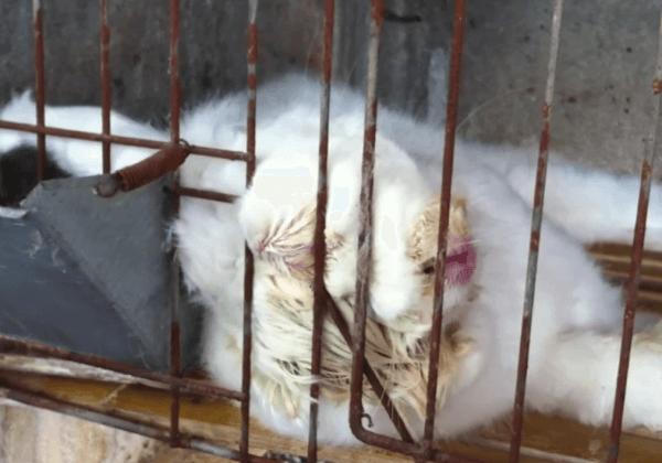 Zogenaamde 'diervriendelijke' angorafokkerijen blootgelegd