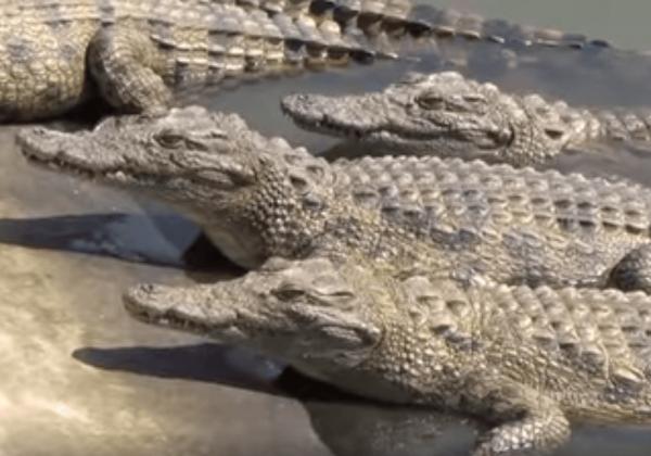 Krokodillen en alligators gefokt voor 'luxe' producten