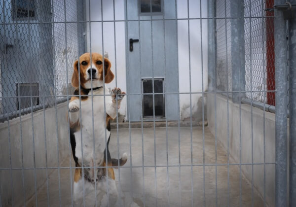Vivisection Beagle