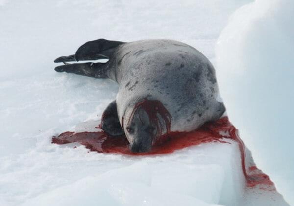 Verzoek Canada te stoppen met de zeehondenslachting