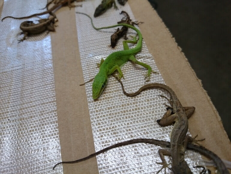 Lizzards glue traps- hagedissen val- Four-770x578