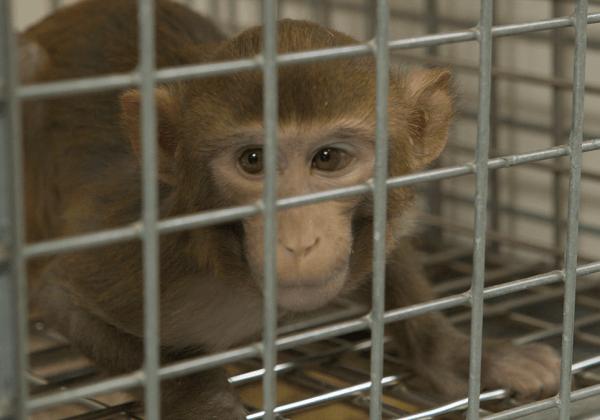 Goed nieuws! Motie SP aangenomen: BPRC moet dierproeven op apen afbouwen