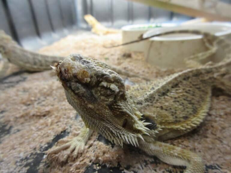 emaciated bearded dragon- uitgehongerde baardagame- Nine-770x578