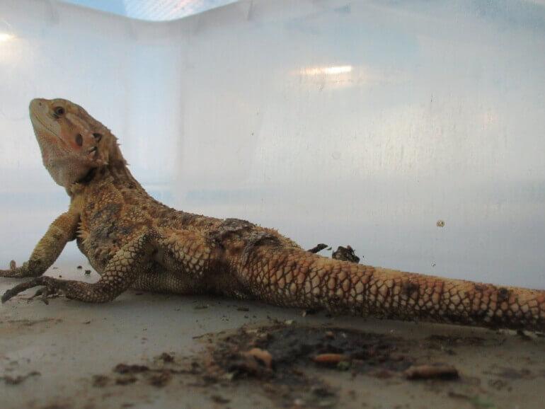 Bearded dragon- baardagaam