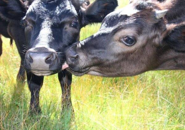 Two Cute Cows in Field