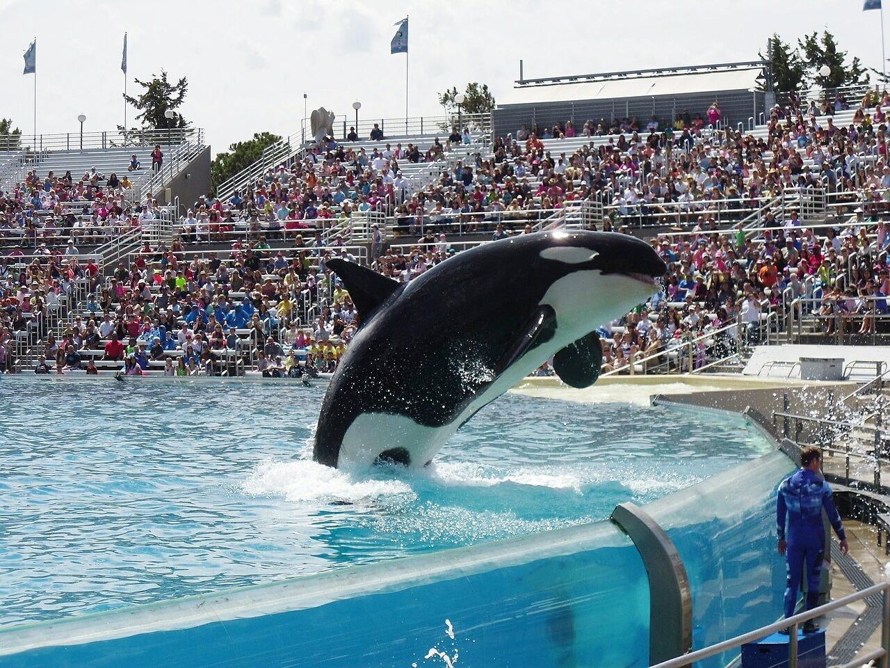 SeaWorld beëindigd fokprogramma's voor orka's  – maar niet snel genoeg