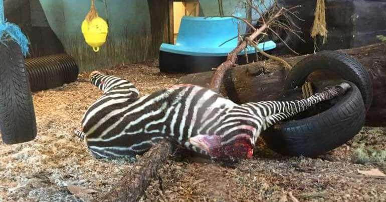 AANSTOOTGEVEND: Zebra onthoofd en aan tijgers gevoerd in Noorse dierentuin