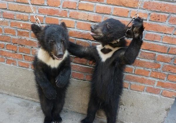 Berenwelpen, leeuwen geslagen, vastgeketend en verwaarloosd in de Chinese circusindustrie