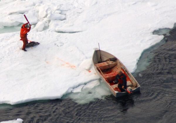 9 Schokkende Foto's van de Zeehondenslacht