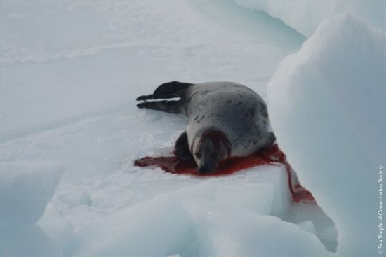 Seal-Slaugher-4