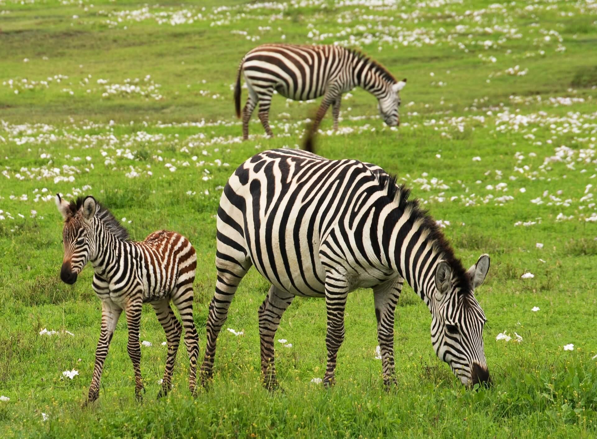 baby-zebra-75885_1920
