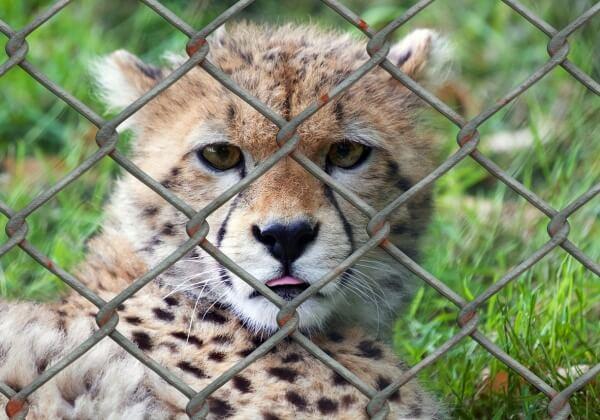 cheetah-509100_1280
