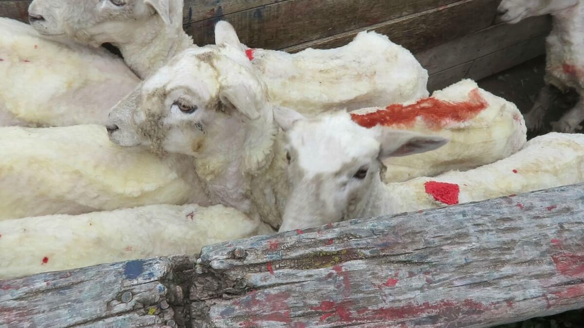 Deze schapen waren niet langer nodig en werden gemarkeerd voor de slacht