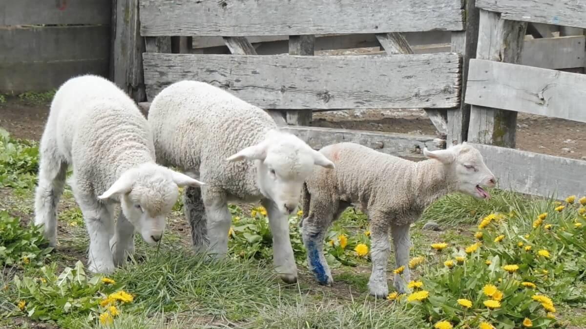 Lammetjes blaatten nadat ze werden gescheiden van hun moeders