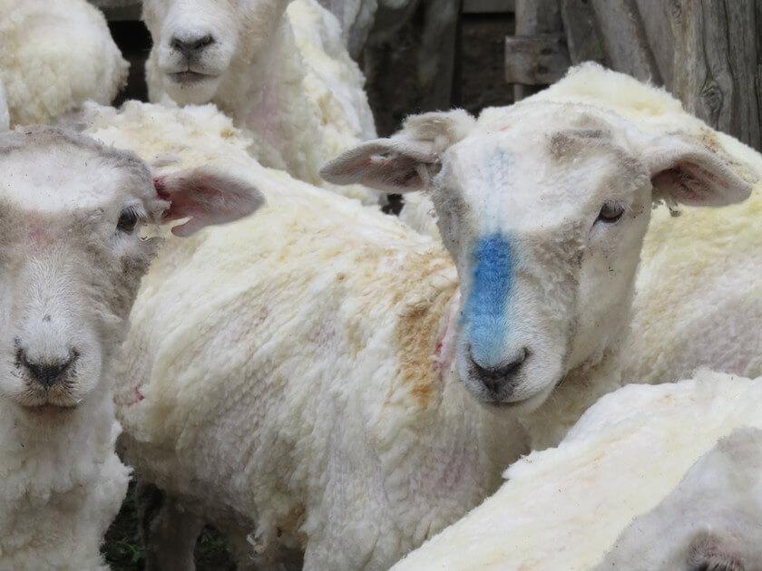 Dit schaap werd gemarkeerd voor de slacht