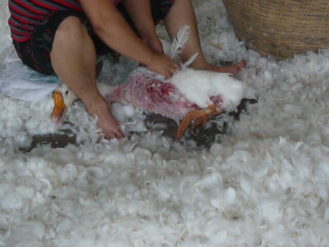 Ganzen worden leven geplukt op de fokkerij in China