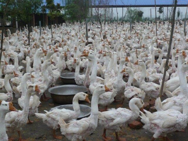 Ganzen op de fokkerij in China: in een grote groep bij elkaar