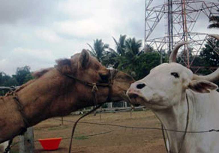 Animal Rahat - Camel Kissing Cow