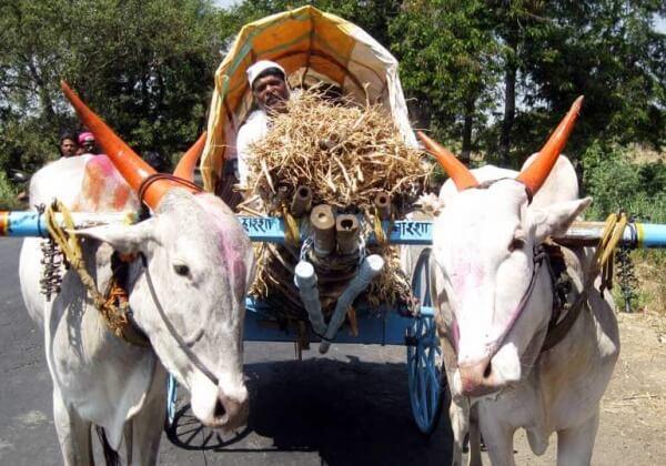 Animals-in-India-Ill-Fitting-Yokes