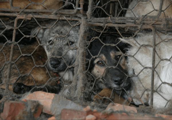 Wat u kunt doen om honden en andere dieren op het Yulin festival te helpen