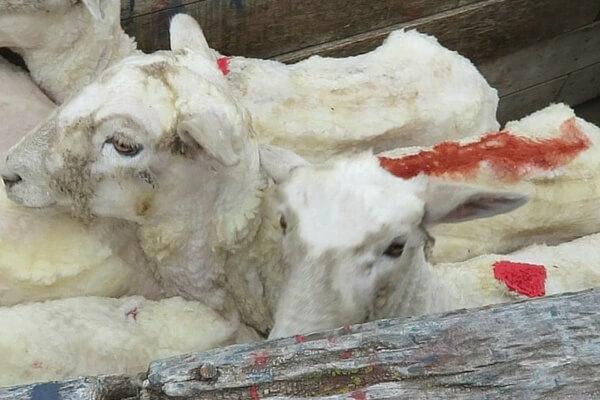 Italiaans wol onthuld: schapen geschopt, opengesneden en gedood