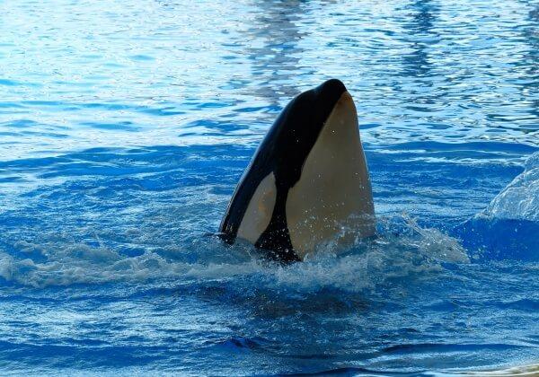 killer-whale-406691_1920