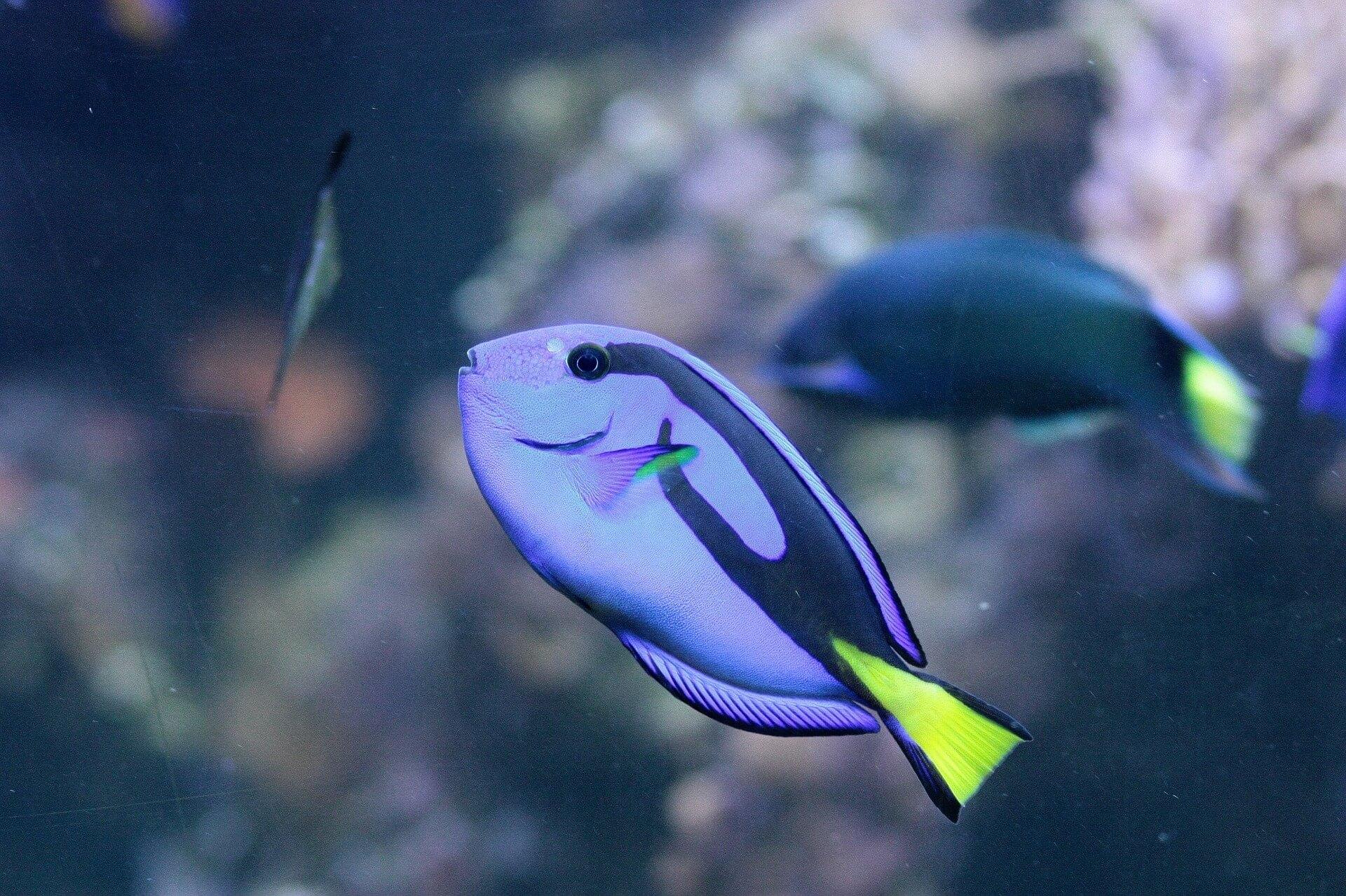 surgeonfish-1363874_1920