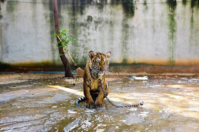 tiger-692161_1280-800x533