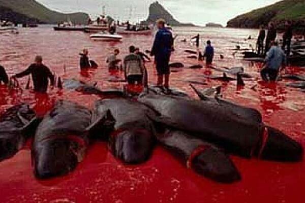 Stop de bloederige walvisslacht op de Faeröer eilanden