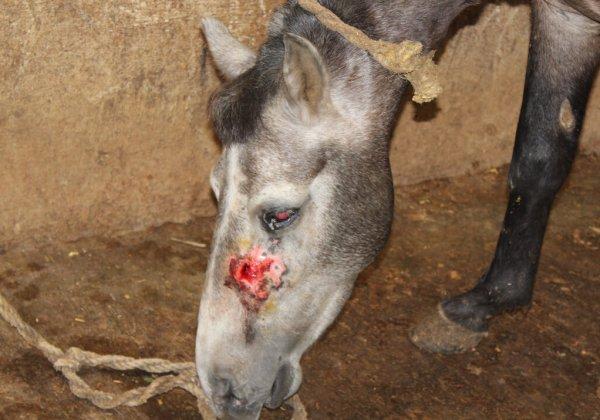 Verzoek India om faciliteiten die bloed afnemen van paarden en ezels te sluiten