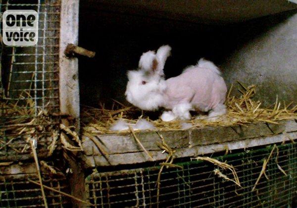 Je zult het gekrijs van deze konijnen nooit vergeten
