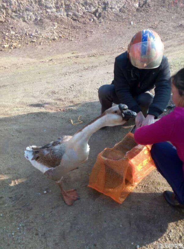 sad-goose-with-friend-602x813
