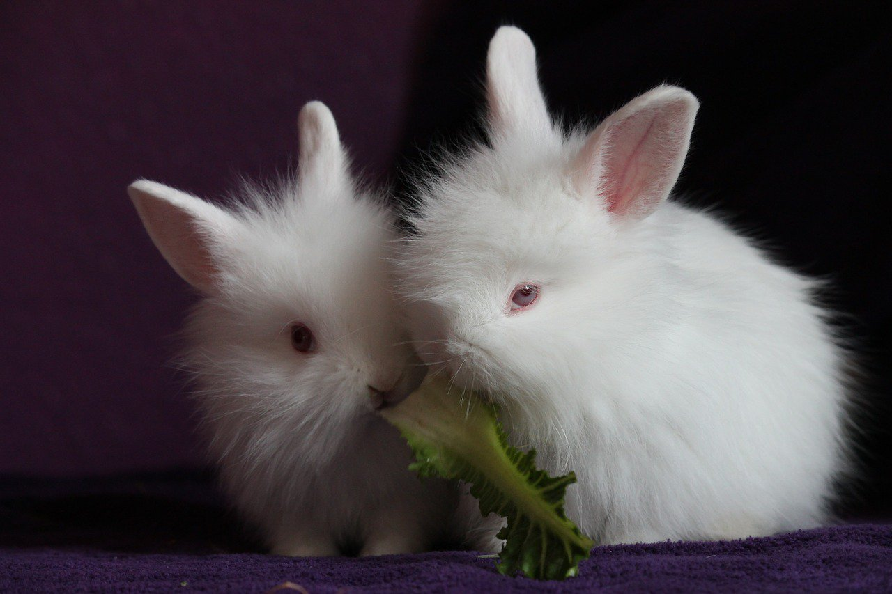 white-rabbits-pixabay