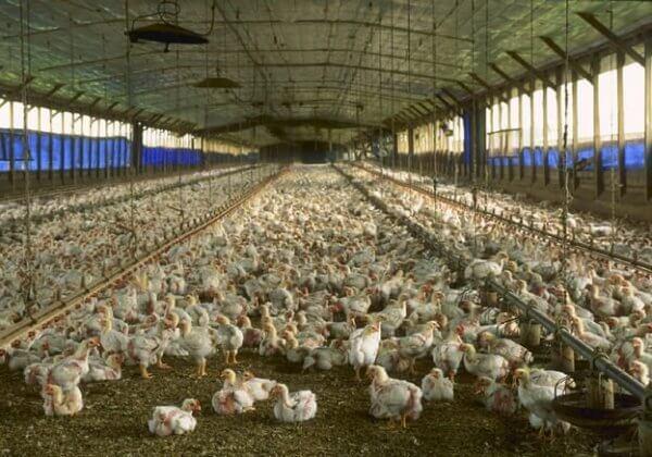 Kippen en eieren in Nederland: 11 ongelofelijke feiten