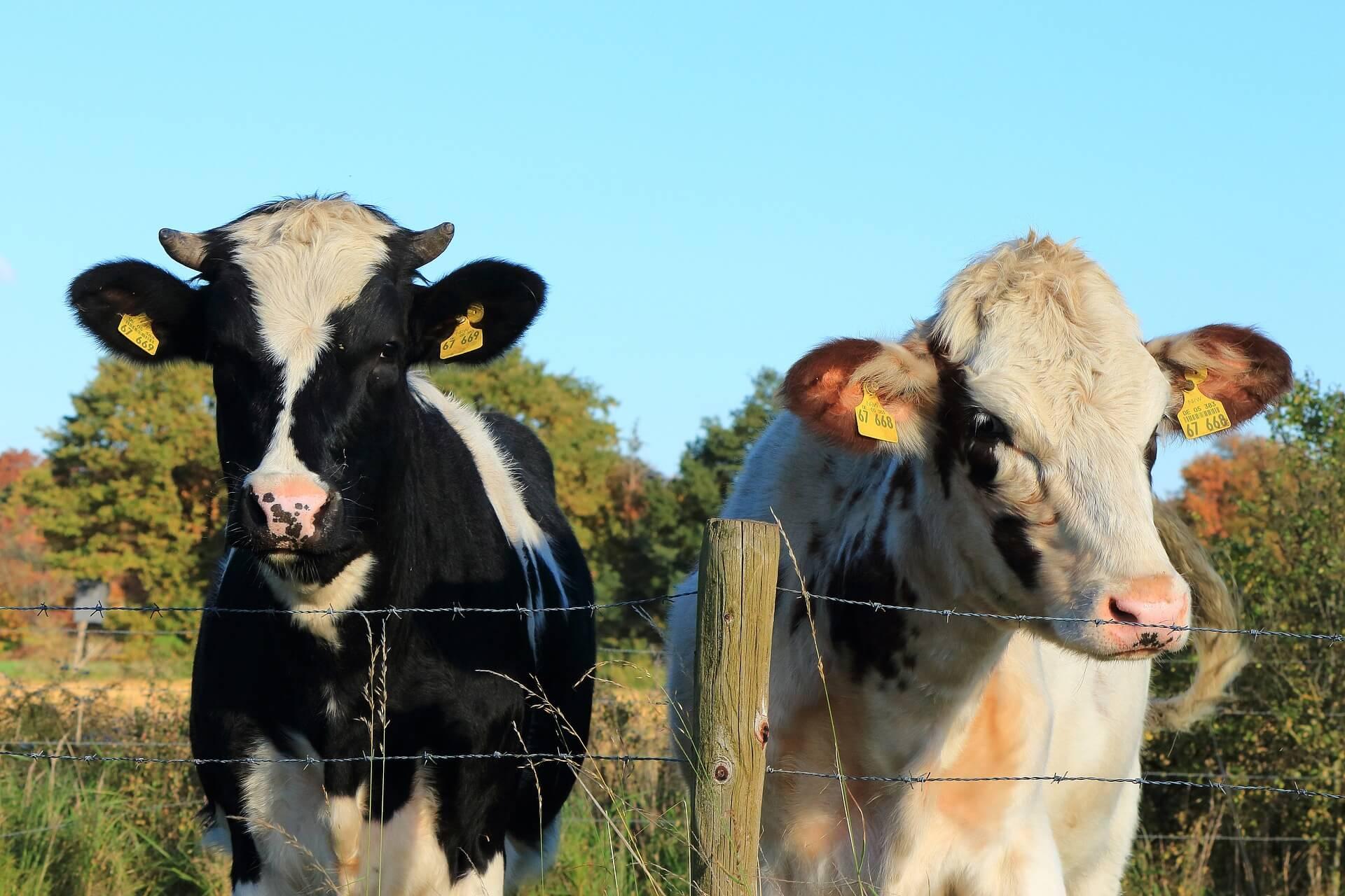cow-1557077_1920