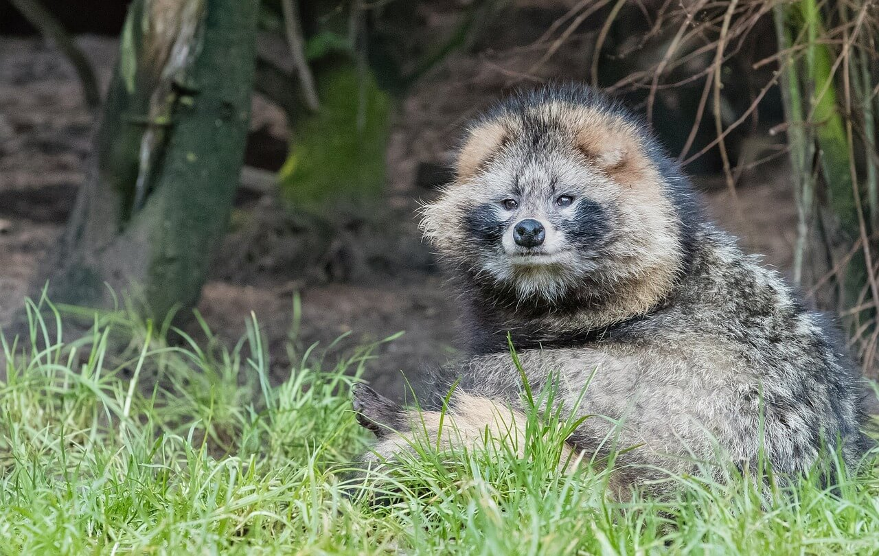raccoon-dog-1251502_1280