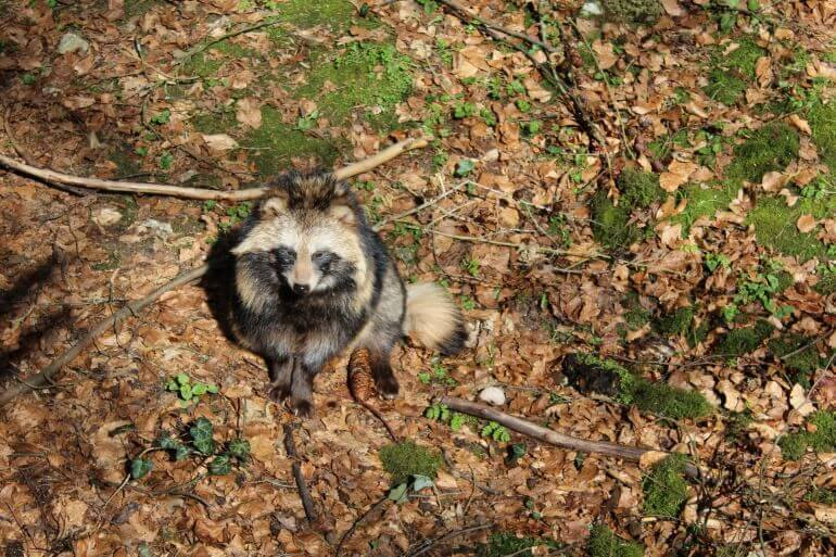 raccoon-dog-707117_1920-770x513
