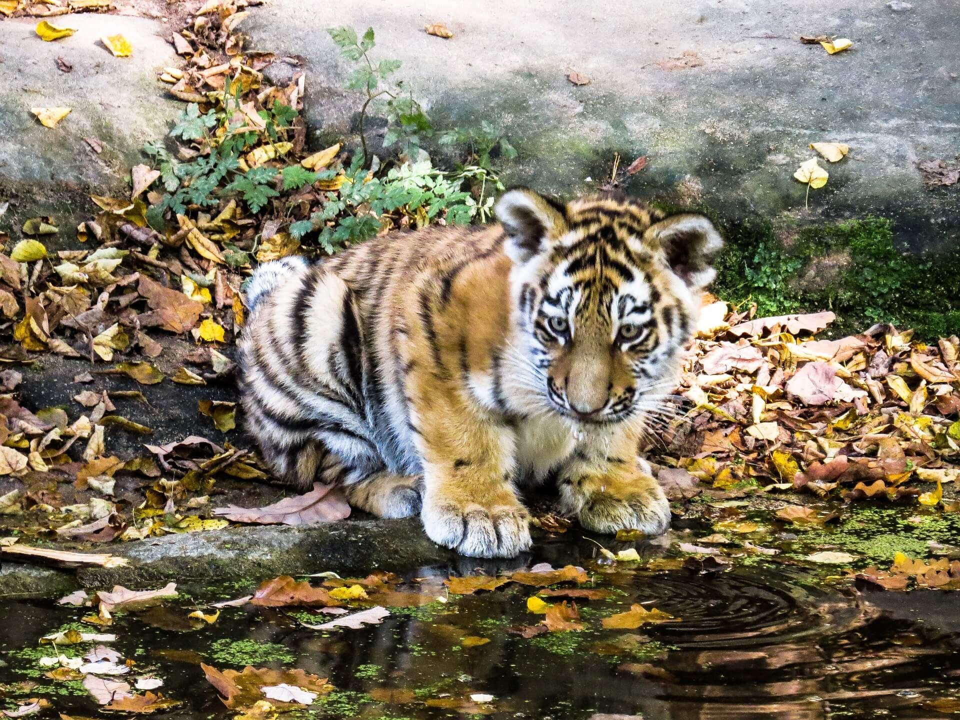 tiger-987678_1920