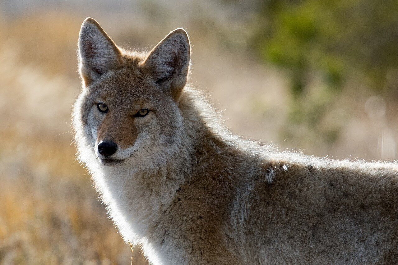 coyote canada goose bont peta