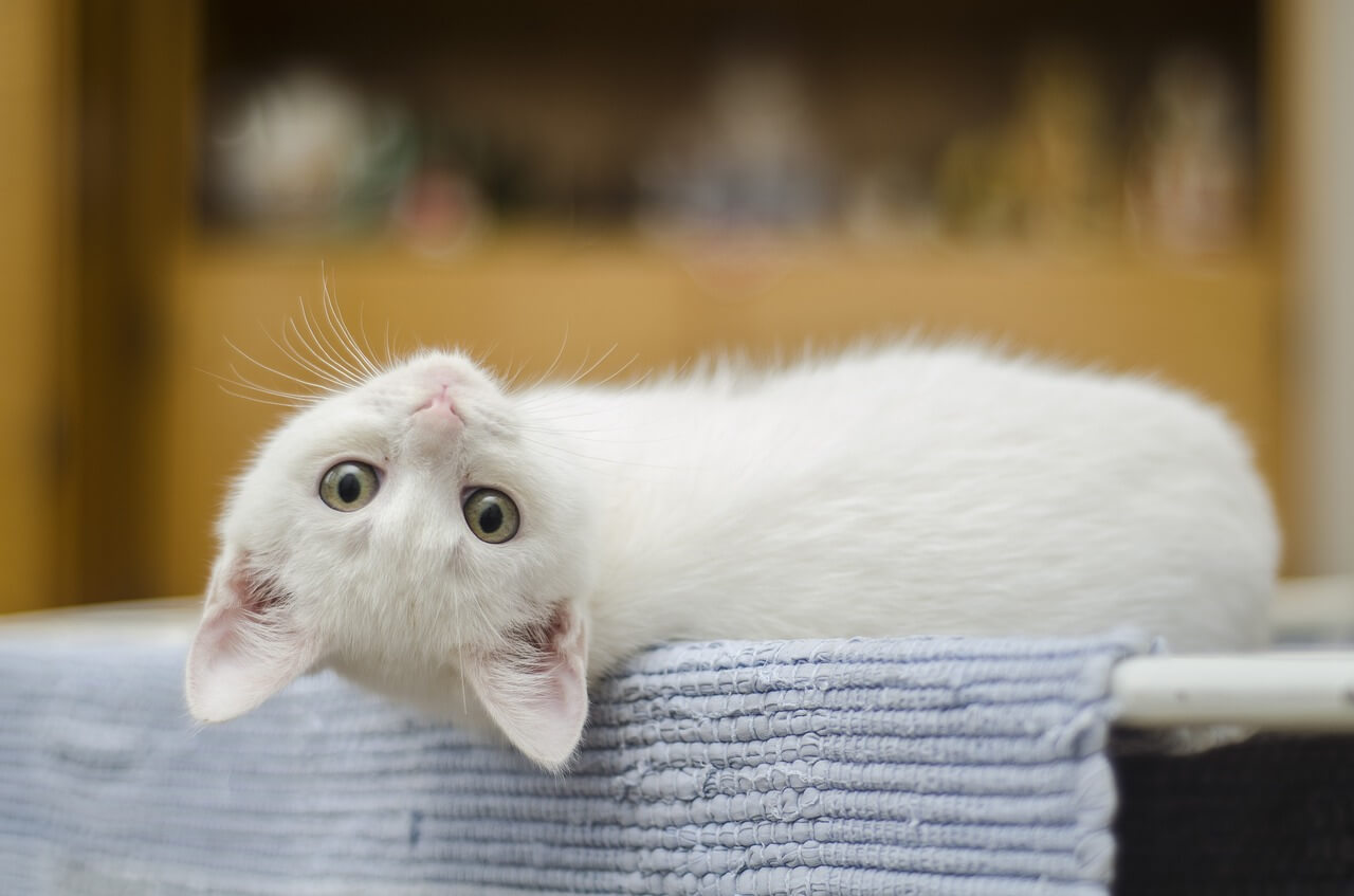 kitten adoptie nederland peta
