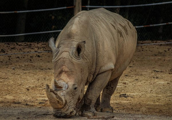 Neushoorn in Franse dierentuin doodgeschoten door stropers voor zijn hoorn