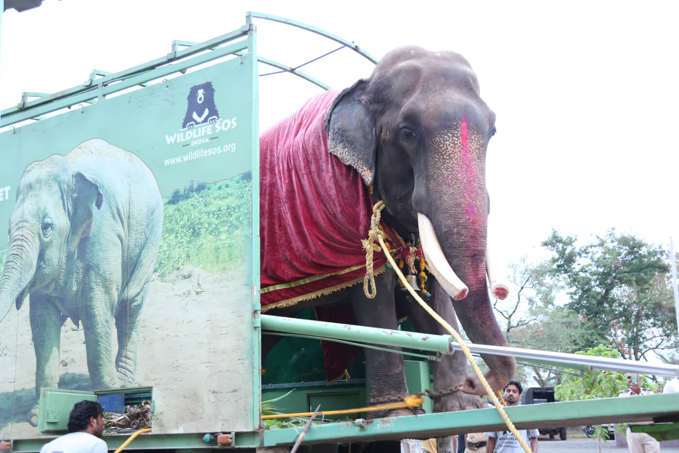 Overwinning! Na 50 jaar lang mishandeling is olifant Gajraj eindelijk vrij