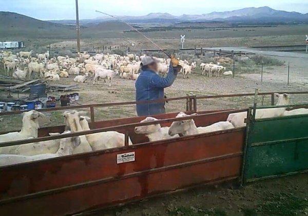 PETA US reageert op Patagonia's gebrek aan zorg over NIEUWE onthulling van wreedheid jegens schapen